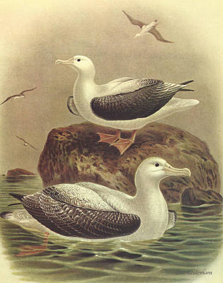 Albatross Painting - Wandering Albatross by J G Keulemans