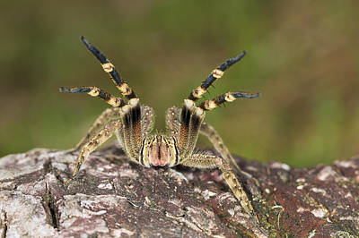 Wandering Photograph - Wandering Spider In Defensive Posture by Konrad Wothe