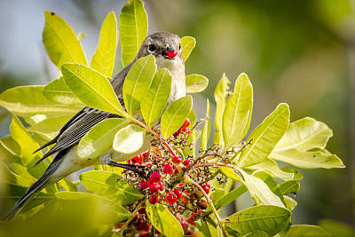 Warbler And Its Red Hot Berry Print by Debra Martz