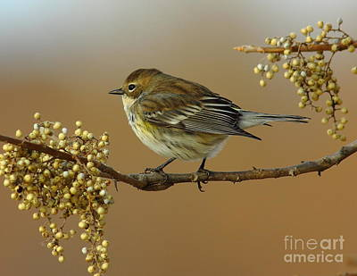 Yellow Rumped Warbler Print by Robert Frederick
