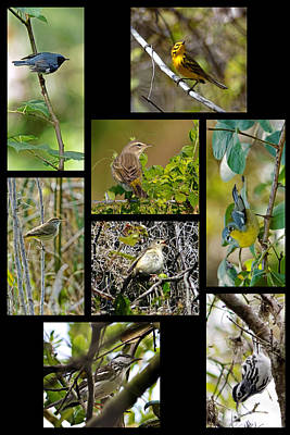 Collage Photograph - Warblers Of Turkey Creek Sanctuary Florida by Dawn Currie