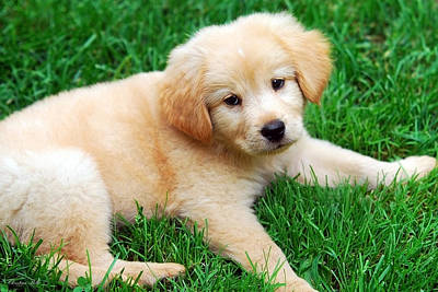 Fuzzy Golden Puppy Photograph - Warm Fuzzy Puppy by Christina Rollo