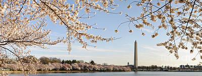 Washington Dc Cherry Blossoms And Washington Monument Original by Oscar Gutierrez