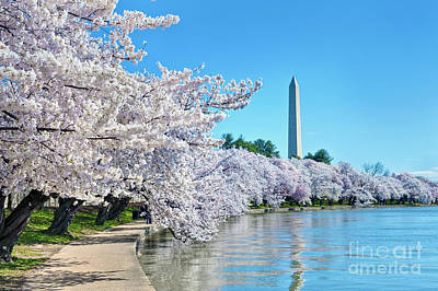 Washington Monument Cherry Blossom Trees Tidal Basin Print by David Zanzinger