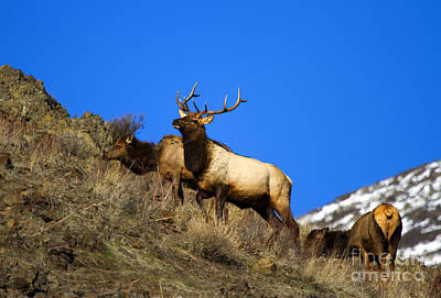 Rack Photograph - Watchful Bull by Mike  Dawson