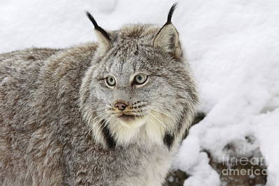 Watchful Canadian Lynx Print by Inspired Nature Photography Fine Art Photography