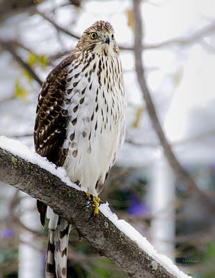 Watchful Eye Of A Hawk Print by Julie Palencia