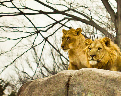 Lion Photograph - Watchful by Sara Frank