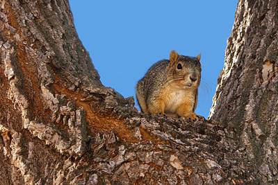 Watching You Watching Me - Squirrel Print by Nikolyn McDonald