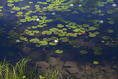 Daysray Photograph - Water Lilies by Fran Riley