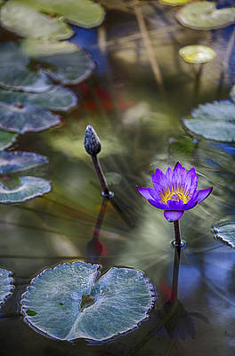 Water Lily 8 Print by Scott Campbell
