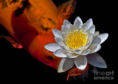 Water Lily And Koi Print by Kim Michaels