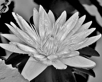 Floral Photograph - Water Lily - Black And White by Kim Bemis