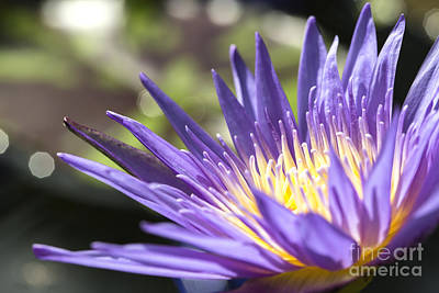 Water Lily Close Up Print by Eyzen M Kim