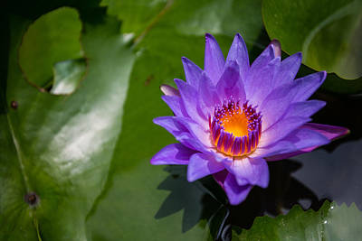 Water Lily Print by Mike Lee