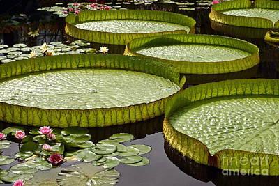 Victoria Cruziana Photograph - Water Platter Charm by Byron Varvarigos