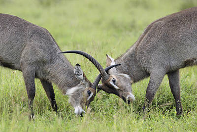 Waterbuck And Sub-adult Bull Fighting Print by Perry de Graaf
