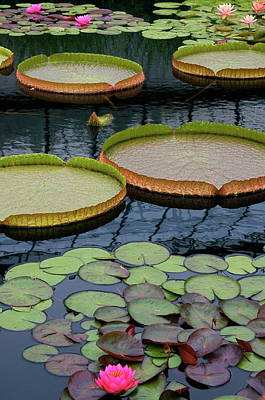 Victoria Cruziana Photograph - Waterlilies And Platters 2 by Byron Varvarigos