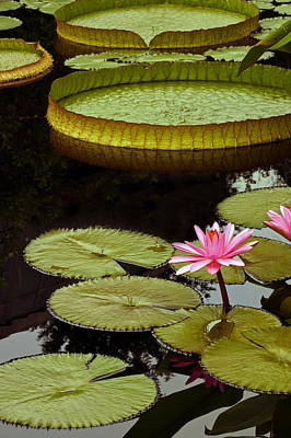 Victoria Cruziana Photograph - Waterlilies And Platters Vertical Romance by Byron Varvarigos