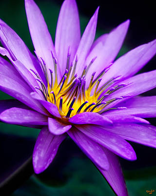 Waterlily #23 Print by Chris Lord