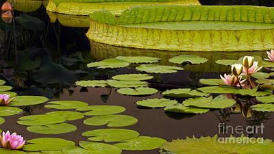 Victoria Cruziana Photograph - Waterlily Charm by Byron Varvarigos