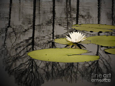 Green Photograph - Water Lily In The Ocala National  Forest In Florida by Jim Swallow