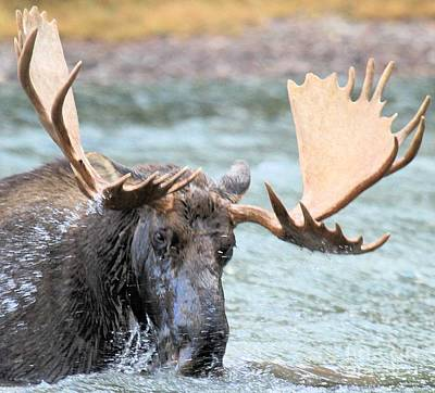 Moose In Water Photograph - Watery Lunch by Adam Jewell
