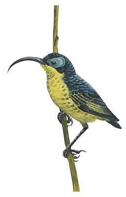 Wattle Drawing - Wattled False Sunbird by Anonymous