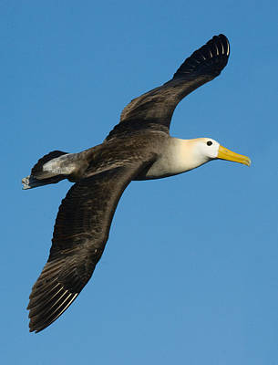 Albatross Photograph - Waved Albatross Diomedea Irrorata by Panoramic Images