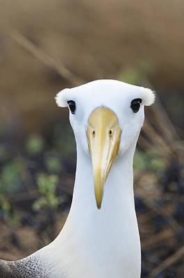 Waved Albatross Espanola Isl Galapagos Print by Tui De Roy