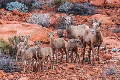 Big Horn Sheep Photograph - Weary Moms  by James Marvin Phelps