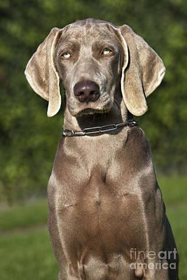 Weimaraner Photograph - Weimaraner Hunting Dog by Johan De Meester