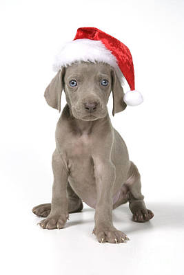 Weimaraner With Christmas Hat Print by John Daniels