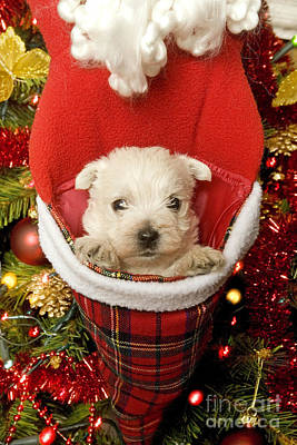 West Highland Terrier At Christmas Print by Jean-Michel Labat