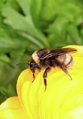 Western Bumble Bee Print by Stephen Ausmus/us Department Of Agriculture