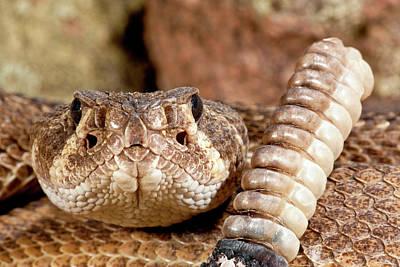 Diamondback Photograph - Western Diamondback Rattlesnake by David Northcott
