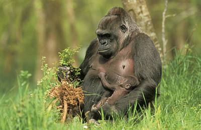 Gorilla Photograph - Western Gorilla And Young by M. Watson