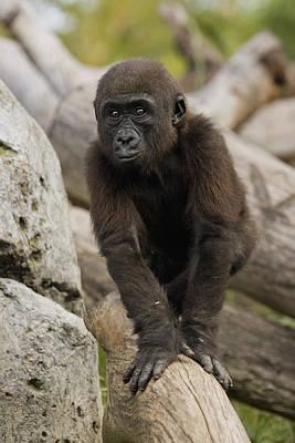 Western Lowland Gorilla Baby Print by San Diego Zoo