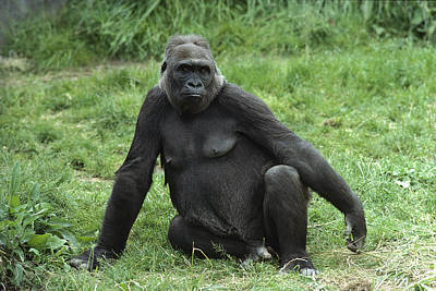 Western Lowland Gorilla Female Print by Gerry Ellis