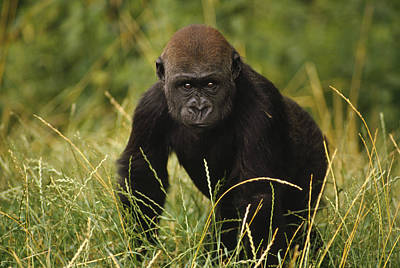 Gorilla Photograph - Western Lowland Gorilla Juvenile by Gerry Ellis