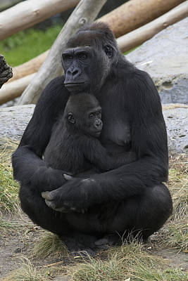 Western Lowland Gorilla Mother And Baby Print by San Diego Zoo
