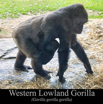 Gorilla Digital Art - Western Lowland Gorilla With Baby by Chris Flees