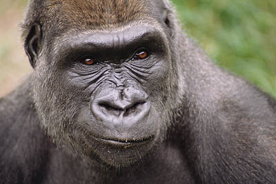 Western Lowland Gorilla Young Male Print by Gerry Ellis