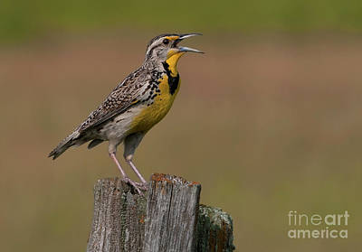 Meadowlark Photograph - Western Meadowlark.. by Nina Stavlund