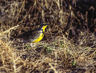 Meadowlark Photograph - Western Meadowlark by Steven Ralser