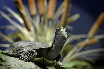 Turtle Photograph - Western Pond Turtle Aquarium At The Bay San Francisco by LeeAnn McLaneGoetz McLaneGoetzStudioLLCcom