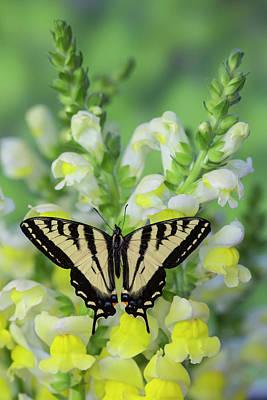 Western Tiger Swallowtail Butterfly Print by Darrell Gulin