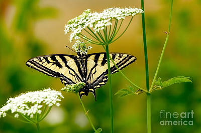 Western Tiger Swallowtail Butterfly Print by Sharon Talson