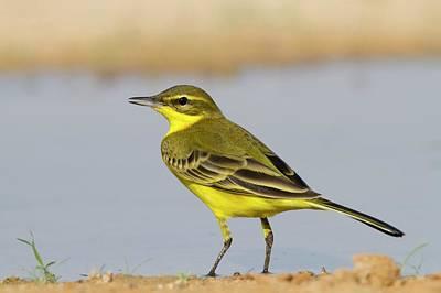 Israel Photograph - Western Yellow Wagtail (motacilla Flava) by Photostock-israel