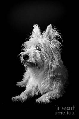 Domestic Pets Photograph - Westie by Catherine Reusch  Daley